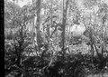 Vaniljplantering. s-te Marie de Marovoay. Madagaskar - SMVK - 021762.tif