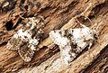 Varied Coronet and Broad-barred White - Flickr - Bennyboymothman.jpg