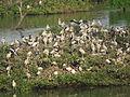 Vedanthangal Bird Sanctuary 06.JPG