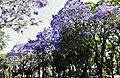 Vegetación que rodea la Plaza Hargain - Fray Bentos.JPG