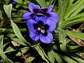 Veld Violet (Aptosimum lineare) (13945979861).jpg
