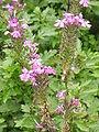 Verbena canadensis2.jpg