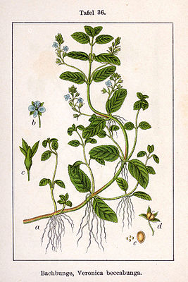 Bachbunge (Veronica beccabunga), Illustration