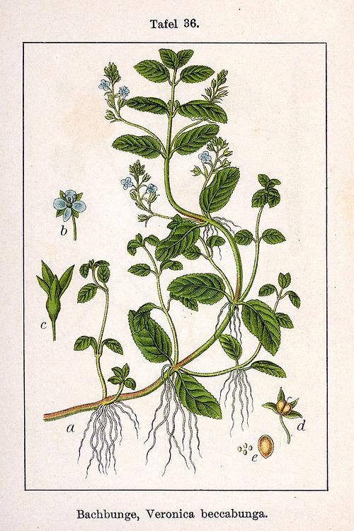 Вероника густо цветковая