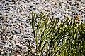 Veronica hectorii in Christchurch Botanic Gardens 02.jpg