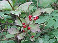 Viburnum edule (3906262265).jpg