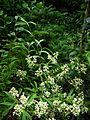 Viburnum henryi - Flickr - peganum (1).jpg