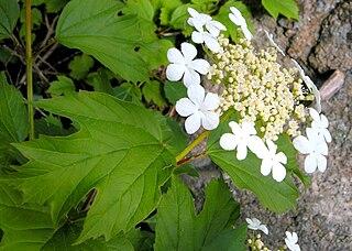 Kalina obyčajná - kvety a listy