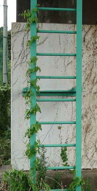 Vine - Convolvulus vine twining around a steel fixed ladder