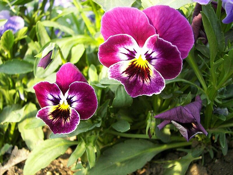 Ficheiro:Viola tricolor-02.jpg