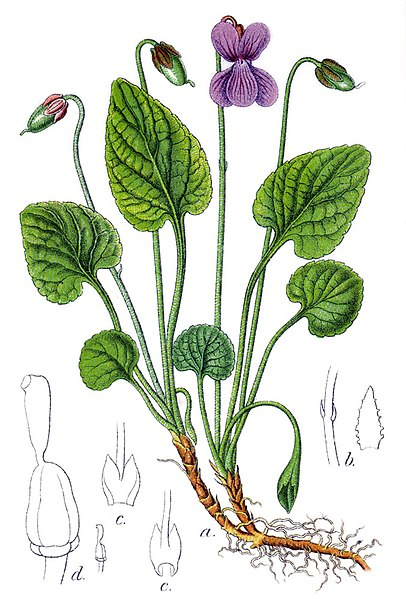 File:Viola uliginosa Sturm53.jpg