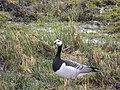 Vitkindad Gås Barnacle Goose (20164686269).jpg