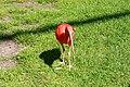 Vogelpark Walsrode - Freiflughalle - Eudocimus ruber 01 ies.jpg