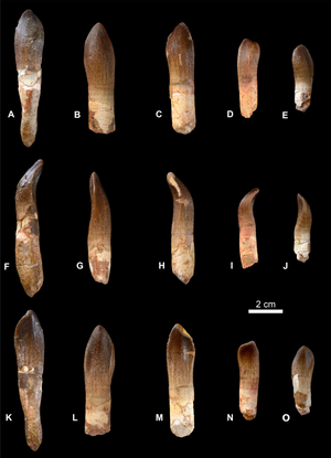 Brachiosauridae - Typical brachiosaurid teeth, i.c. those of Vouivria
