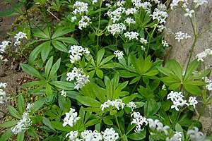 Galium odoratum - Image: Waldmeister(Mai)