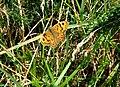 Wall butterfly (Lasiommata megera) - geograph.org.uk - 931798.jpg