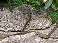Wall lizard at Ventnor Botanic Garden.jpg