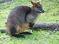 Wallaby (6532979523).jpg