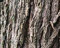 Walnut tree bark.jpg