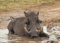 Warthog In Mud.jpg