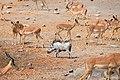 Warthog and Impala, Etosha, Namibia.jpg