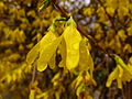 Water-drops-forsythia - West Virginia - ForestWander.jpg