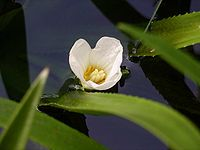 Water soldier flower.JPG