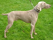 Some dogs, like this Weimaraner, have their predatory instincts suppressed in order to better assist human hunters.