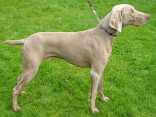 Male Weimaraner with docked tail