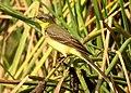 Western Yellow Wagtail Motacilla flava by Dr. Raju Kasambe DSCN3145 (10).jpg