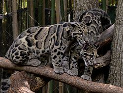 Big Cats Facts And Pictures