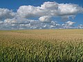 Wheat fields at Nöbbelöv, Lund - panoramio.jpg