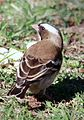White-browed Sparrow-Weaver, Plocepasser mahali (8020723054).jpg