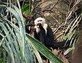 White-headed Capuchin (Cebus capucinus) (42142485505).jpg