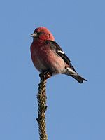 White-winged Crossbill - male.jpg