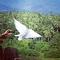 White pigeon being released, India.jpg