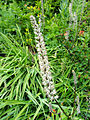 White rushlily (Hastingsia alba) on Trinity Alps Long Canyon Trail.jpg