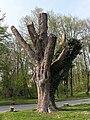 Wien-Penzing - Naturdenkmal 199 - Baumhasel (Corylus colurna) beim Europahaus.jpg