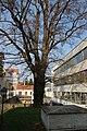 Wiener Naturdenkmal 68 - Baumhasel (Döbling) f.JPG