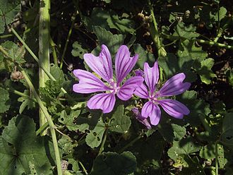 Mauve - Mallow wildflower