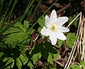 Windflower or Wood Anemone (Anemone nemorosa) - geograph.org.uk - 422130.jpg
