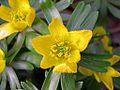 Winter Aconite (Eranthis hyemalis) - Flickr - Jay Sturner.jpg