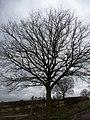 Winter tree, Hollow Lane - geograph.org.uk - 1768710.jpg