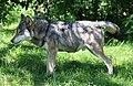 Wolf Canis lupus lupus Tierpark Hellabrunn-6.jpg