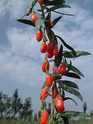 Wolfberry Farm Berries Closeup Ningxia 174.jpg