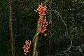 Woody Vine (Callerya nieuwenhuisii) in bloom (23748709025).jpg