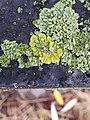 Xanthoria parietina 105862285.jpg