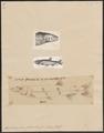 Xiphorhamphus falcirostris - 1700-1880 - Print - Iconographia Zoologica - Special Collections University of Amsterdam - UBA01 IZ14700073.tif