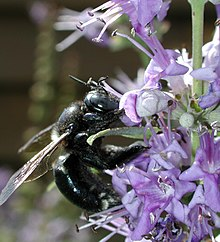 Xylocopa micans.JPG