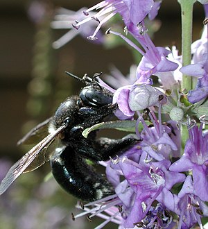 Apidae - Xylocopa micans (a carpenter bee), on a Vitex species flower